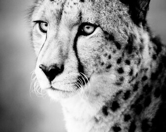 Cheetah Art Photograph - Black and White Photography - Nature Wall Decor - Monochrome Fine Art - Animal Photography