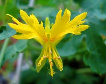 Nasturtium CANARY BIRD FLOWER  vine/ Canary Creeper / Canary Bird Climber/seeds 2 g aprox 16 seeds /climbing flower seeds/ best before 2021