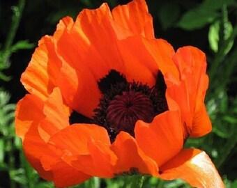 50+ Prince of Orange Poppy Papaver Orientale / Perennial Flower Seeds