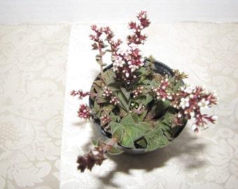 Succulent Plant. Crassula Caput Minima looks like leaves on top of leaves on top of leaves.