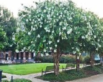 4 Pack - Natchez Crape Myrtle Trees - Spectacular White Blooms - Spring to Fall
