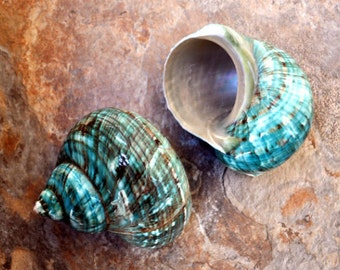 "Polished Jade Turbo Shell (3-3.5"") - Turbo Burgessi"