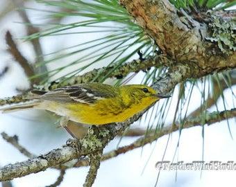 Pine Warbler Photo | Yellow Songbird Art | Bird Watcher Gift | FeatherWindStudio | Warbler Print