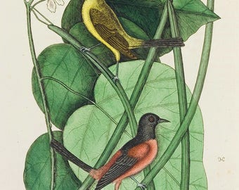 Mark Catesby: The Basterd Baltimore Bird in the Catalpah Tree. Fine Art Print/Poster. (004746)