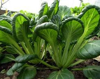 Tatsoi Seeds, Asian Greens, Red Mustard Greens, Brassica Juncea