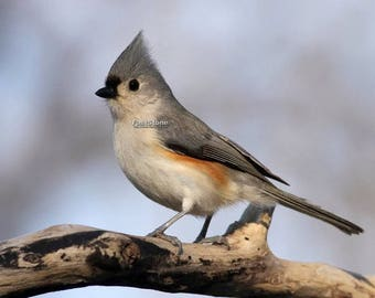 tufted, titmouse, photo, print, bird photography, wildlife photography, songbird, home decor, wall art, nature, free shipping, metal