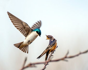 Bird Image, Nature Photo, Swallow Photo, Fine Art Image,