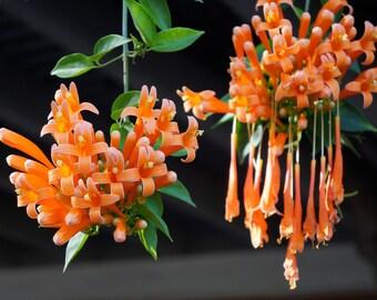 Orange Trumpet Vine Photo