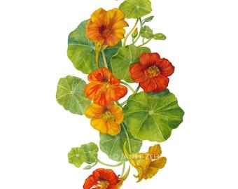 Nasturtiums Botanical Print Watercolor Flower Wall Art by Janet Zeh Original Art
