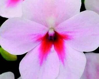Impatiens Cherry Splash Flower Seeds (Impatiens Walleriana) 10+Seeds