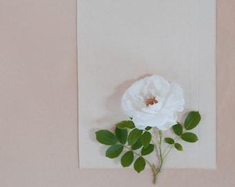white garden rose-flower photography -flower photo- cottage garden photography - Original fine art photography prints - FREE Shipping