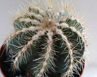 "Balloon Cactus(Notocactus Magnificus) 4""pot"