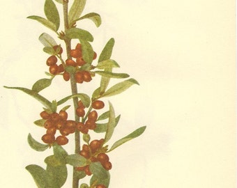 Vintage 1968 BERRY Color Print Wild Flowers of America Book PLATE 236 237 Buffalo Berry and Silverberry
