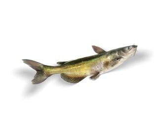 Barbue sticker, autocollant barbue, barbues, poisson-chat