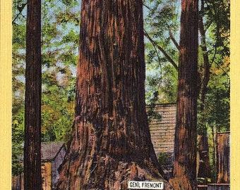 Santa Cruz, California, Big Trees Park, General Fremont, Redwood Trees - Postcard - Vintage Postcard - Unused (QQ)