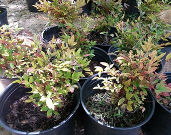Nandina Gulf Stream .. 1 gallon