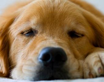 Sleeping Golden Retriever Photo, Blank Card