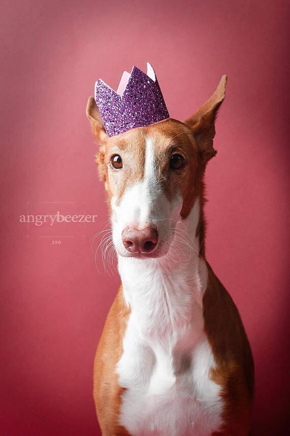 Dog Birthday Party || Dog Birthday Crown || Dog Costume || Pet Party || Dalmation