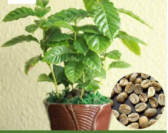 WBML 20+++  Coffee Bean Seeds, Balcony Bonsai Tree Plant Seed,green coffee seed,coffee plant ,coffee tree plant,best coffee beans
