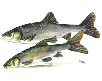 "Limited Edition GICLEE Print / ""Sacramento Blackfish"" / Watercolor Painting of a native California fish"