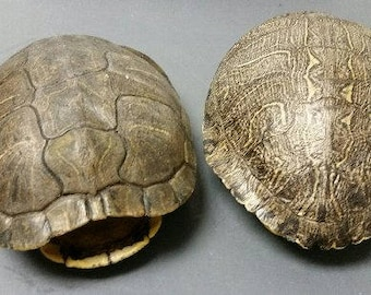 Preserved Red Eared Turtle Shell  (Large)  (EA)