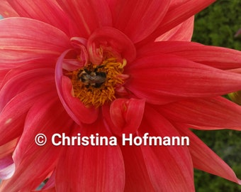 Bumblebee on a Dinnerplate Dahlia Photograph - instant download digital image JPG - West Springfield, MA digital photograph