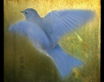 Bluebird in Flight, 5x5 Fine Art Print