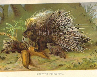 CRESTED PORCUPINE Antique Colored Book Plate