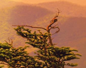 Mountain,Tree Dancer, Tree Photography, Blue Ridge, BRP, Landscape, North Carolina,Dancing,10 x 15 , nature, Fine Art, Wall Art, Earth Tone