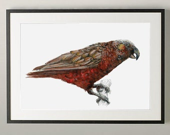 New Zealand native bird Kākā illustrated Large print, from original watercolor and ink painting artwork, Wild life wall art