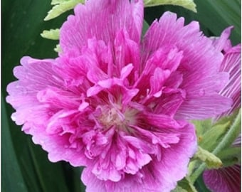 Hollyhock Seeds Queeny Lilac Rose, Perennial Flower, 10 Seeds