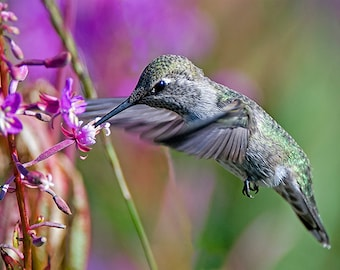 Hummingbird Image, Nature Photo