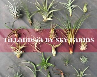 50 assorted Tillandsia air plants - FREE SHIP treasury wholesale bulk lot collection