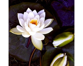 White Water Lily Print, Floral Wall Art, Modern Decor, Contemporary Flower Photography, Fine Art Print