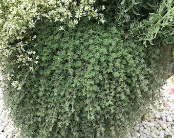 Wooly Thyme, Live Herb Plant, Creeping Wooly Thyme in Four Inch Pot, Great Groundcover Silver Foliage Plant Great for Herb Garden