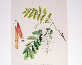 Vintage Botanical Print 1984 Color Art Original Book Plate 171 Beautiful Locust Tree Plant Branch Leaves Seeds Chart Garden Nature to Frame