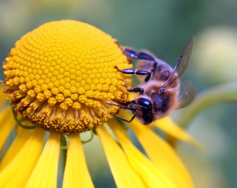 Close-up macro photo of bee on yellow flower