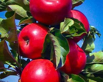 Tasty Red Urban Apple Tree 4-5 Foot