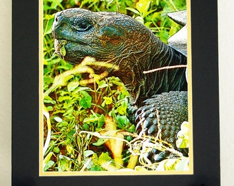 Galapagos Tortoise Photographic Art Matted Print, Nature Lover Art, Biologist Gift, Turtle Art, Black and Gold Mat, Science Geek Gift