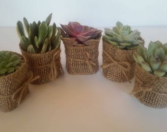 25 Burlap Succulent Wedding Favors