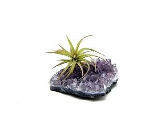 Amethyst Crystal Quartz with Air Plant / Healing Garden / Terrariums / Tillandsia Gift / Naturalist