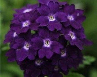 35+ Verbena Tuscany Violet with White Eye / Perennial Flower Seeds