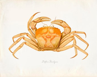 Vintage Dolfein Brachyura Crab Print 8x10 P212