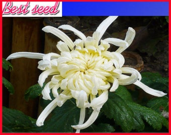 White chrysanthemum etsy white chrysanthemum flower seeds professional pack 50 seeds pack nf968 mightylinksfo Choice Image