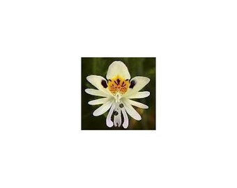 15 White Angel Orchid Seeds-1194B