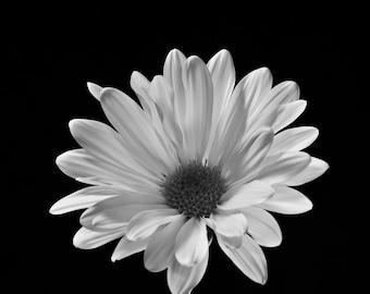 Daisy on Black, Fine Art Black and White Photography, Flower Art, Flower Photography