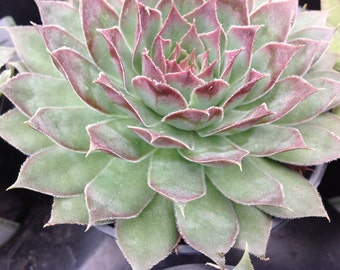 "Succulent plant, Sempervivum , native to high altitudes of France and Italy, forms rosettes to 4"" with green leaves with  reddish burgundy"