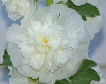30 Old Fashioned Giant White Double Hollyhock Flower Seeds / Perennial