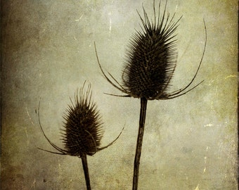 Two Princes : rural country vintage flower photography wild teasel thistle harvest cream ecru brown home decor 8x10 11x14 16x20 20x24 24x30