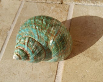Turbo Shell -  Jade Turbo Shell - Natural Turbo - Polished Jade Seashell - Polished Jade Turbo - Pearlized Shell - No. 215